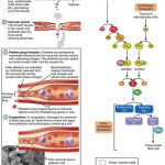 Difference Between Primary and Secondary Hemostasis
