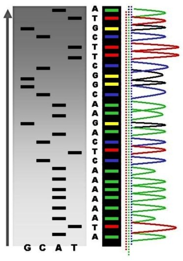 Key Difference - Gene Sequencing vs DNA Fingerprinting