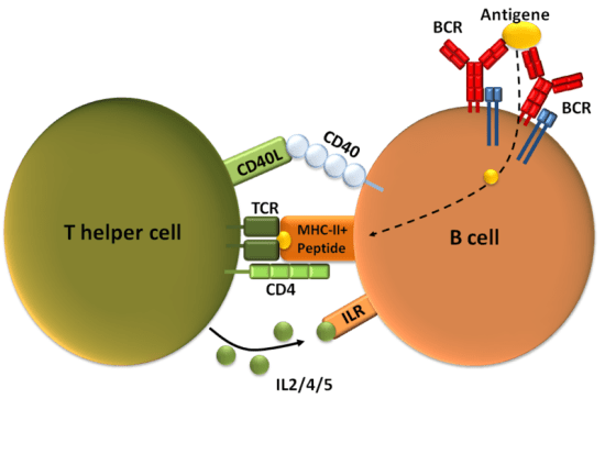 Difference Between T Cell Dependent and Independent Antigens.