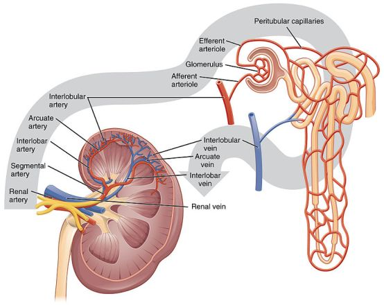 Key Difference Between Bowman's Capsule and Glomerulus