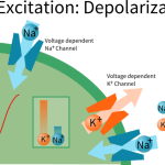 Difference Between Depolarization and Repolarization