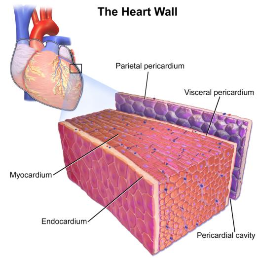 Difference Between Myocardium and Pericardium