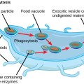 Key Difference Between Primary and Secondary Lysosomes