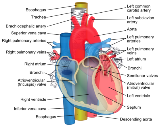 Difference Between Right Sided and Left Sided Heart Failure