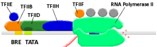 Difference Between General and Specific Transcription Factors