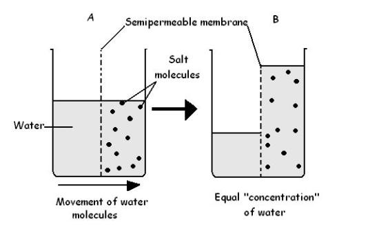 Key Difference Between Imbibition and Osmosis