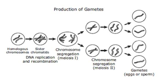 Key Difference Between Meiosis and Gametogenesis