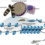 Difference Between Constitutive and Facultative Heterochromatin
