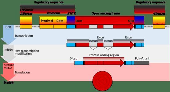 Difference Between Eukaryotic and Prokaryotic Promoters