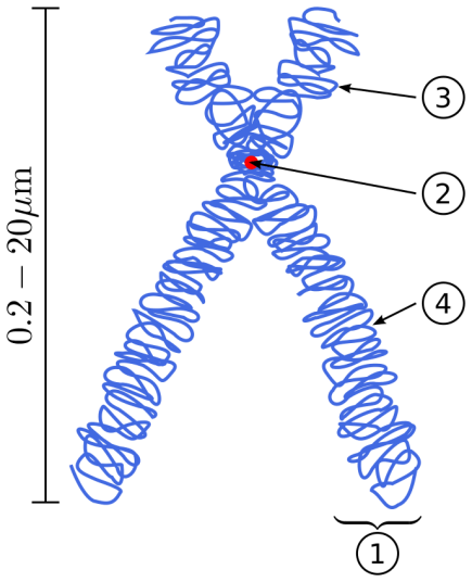 Difference Between Linear and Circular DNA