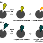 Difference Between Competitive and Noncompetitive Inhibition