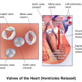 Difference Between Mitral Valve and Tricuspid Valve
