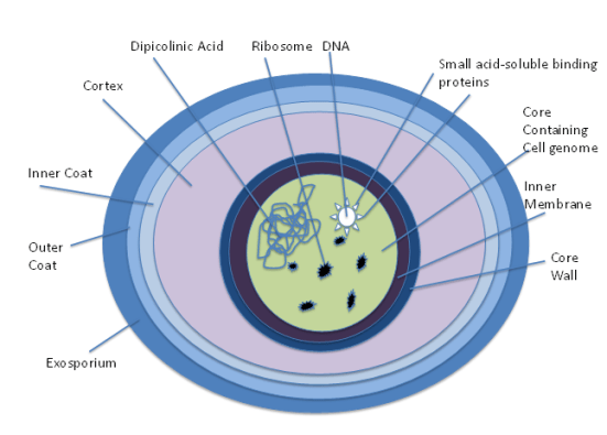 Key Difference Between Bacterial Endospores and Fungal Spores