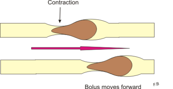 Difference Between Peristalsis and Segmentation
