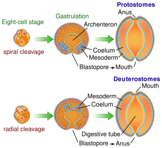 Difference Between Radial and Spiral Cleavage