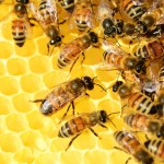 Difference Between Bees and Hornets