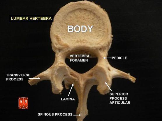 Key Difference - Cervical Thoracic vs Lumbar Vertebrae