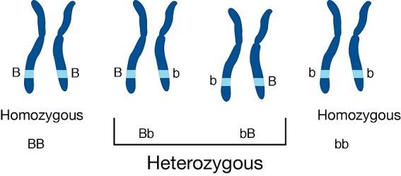 Difference Between Heterozygous and Homozygous Individuals