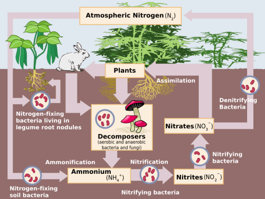 Key Difference Between Ammonia and Ammoniacal Nitrogen
