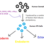 Difference Between Pluripotent and Induced Pluripotent Stem Cells