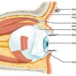 Difference Between Sclera and Conjunctiva
