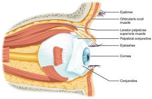 Difference Between Sclera and Conjunctiva l Sclera vs