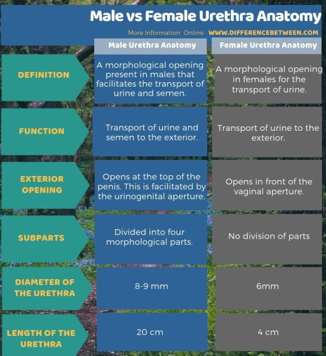 Difference Between Male and Female Urethra Anatomy in Tabular Form