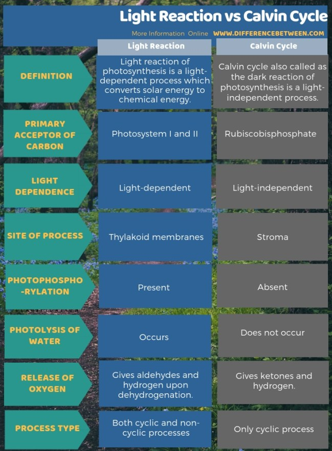 Difference Between Light Reaction and Calvin Cycle in Tabular Form