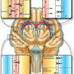 Difference Between Blood Brain Barrier and Blood CSF Barrier