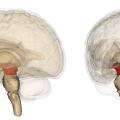 Difference Between Forebrain Midbrain and Hindbrain