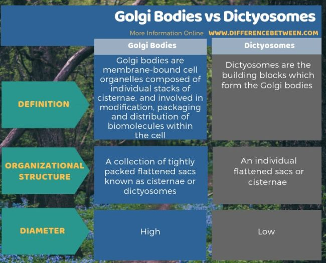 Difference Between Golgi Bodies and Dictyosomes in Tabular Form