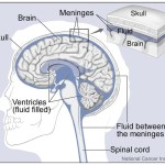 Difference Between Brain and Spinal Cord Meninges
