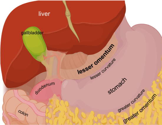 Difference Between Peritoneum and Omentum
