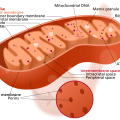 Difference Between Cytoplasmic Inheritance and Nuclear Inheritance