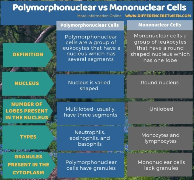 Difference Between Polymorphonuclear and Mononuclear Cells in Tabular Form
