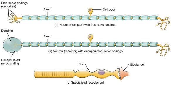 Key Difference - Free Nerve Endings vs Encapsulated