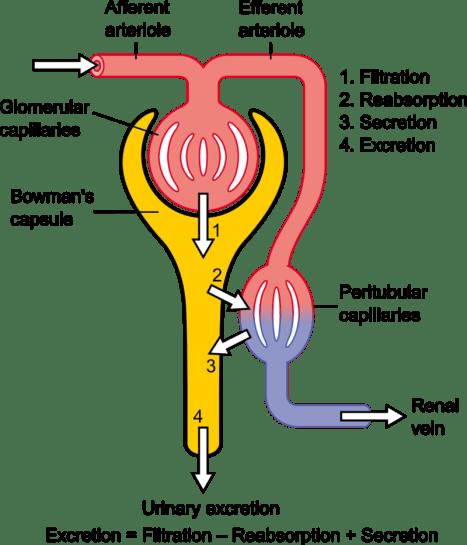 Key Difference - Vasa Recta vs Peritubular Capillaries
