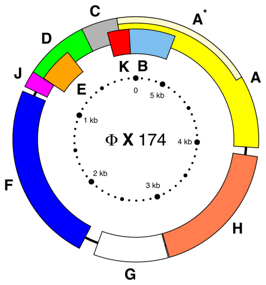Difference Between ssDNA and dsDNA
