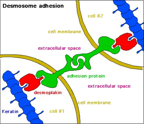 Key Difference - Desmosomes vs Hemidesmosomes