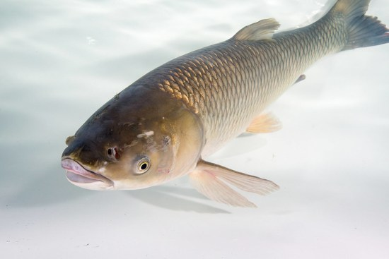 Difference Between Diploid and Triploid Grass Carp