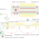 Difference Between Saltatory and Continuous Conduction