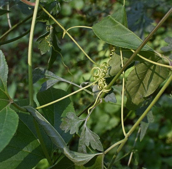 Difference Between Stem Tendril and Leaf Tendril