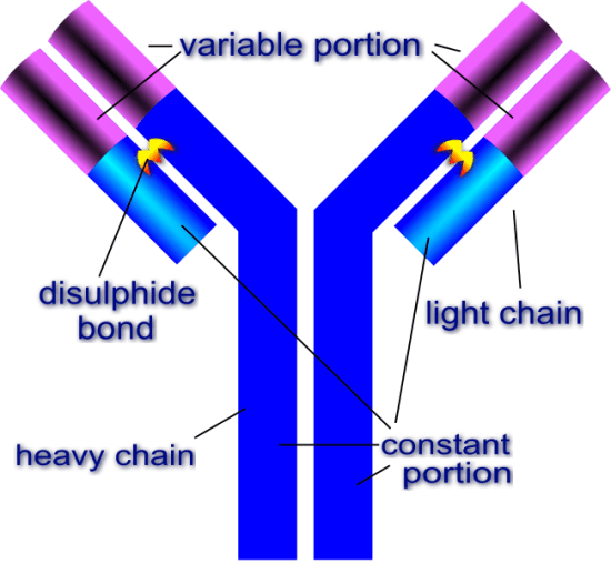 Difference Between Alloantibody and Autoantibody