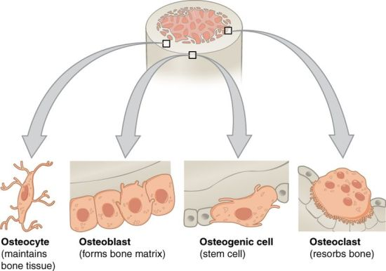 Key Difference - Body Cells vs Primary Reproductive Cells
