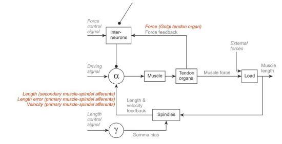 Key Difference - Mechanoreceptors vs Proprioceptors