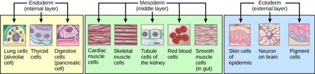 Key Difference - Histogenesis vs Morphogenesis