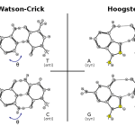 Difference Between Watson and Crick and Hoogsteen Base Pairing
