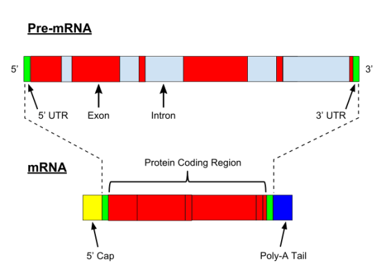 Difference Between hnRNA and mRNA