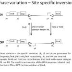 Difference Between Antigenic and Phase Variation