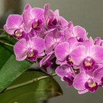 Difference Between Dendrobium and Phalaenopsis Orchids